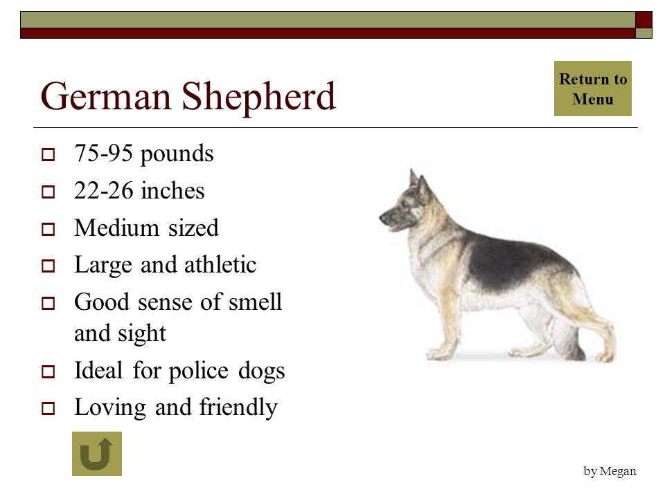 German Shepherd  75-95 pounds  22-26 inches  Medium sized  Large and athletic  Good sense of smell and sight  Ideal for police dogs  Loving and friendly by Megan Return to Menu