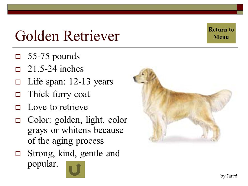 Golden Retriever  55-75 pounds  21.5-24 inches  Life span: 12-13 years  Thick furry coat  Love to retrieve  Color: golden, light, color grays or whitens because of the aging process  Strong, kind, gentle and popular.