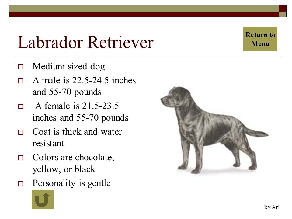 Labrador Retriever  Medium sized dog  A male is 22.5-24.5 inches and 55-70 pounds  A female is 21.5-23.5 inches and 55-70 pounds  Coat is thick and water resistant  Colors are chocolate, yellow, or black  Personality is gentle by Ari Return to Menu