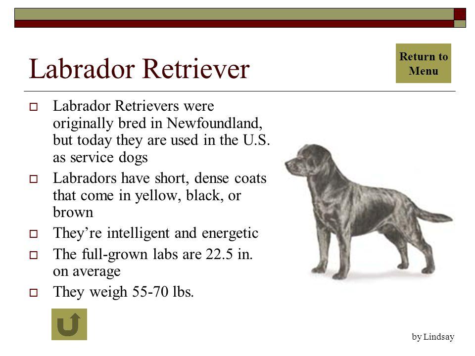 Labrador Retriever  Labrador Retrievers were originally bred in Newfoundland, but today they are used in the U.S.