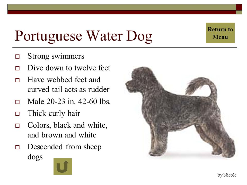 Portuguese Water Dog  Strong swimmers  Dive down to twelve feet  Have webbed feet and curved tail acts as rudder  Male 20-23 in.