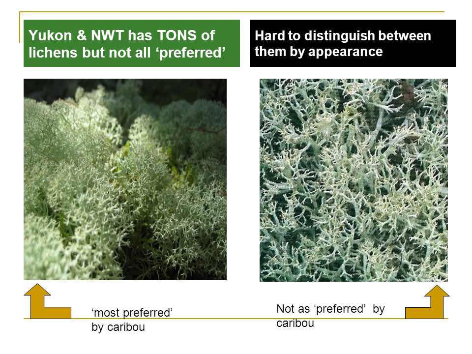 Yukon & NWT has TONS of lichens but not all 'preferred' Hard to distinguish between them by appearance Not as 'preferred' by caribou 'most preferred' by caribou