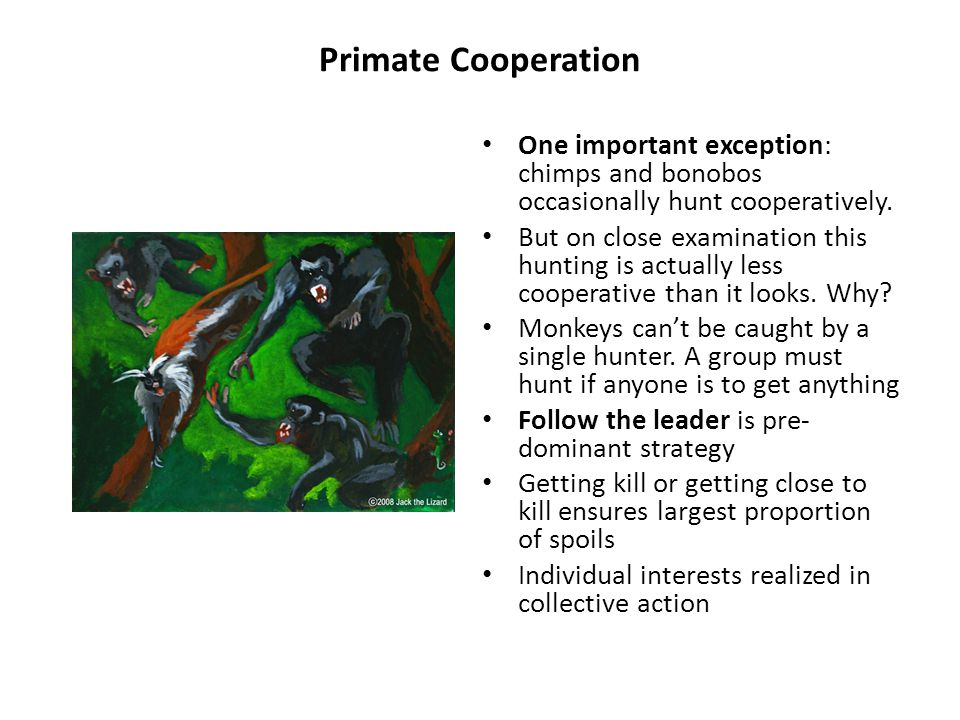 Primate Cooperativeness Chimpanzee cooperativeness limited by dominance: Researchers had children and chimps work together pulling on ropes to bring into reach a food reward.