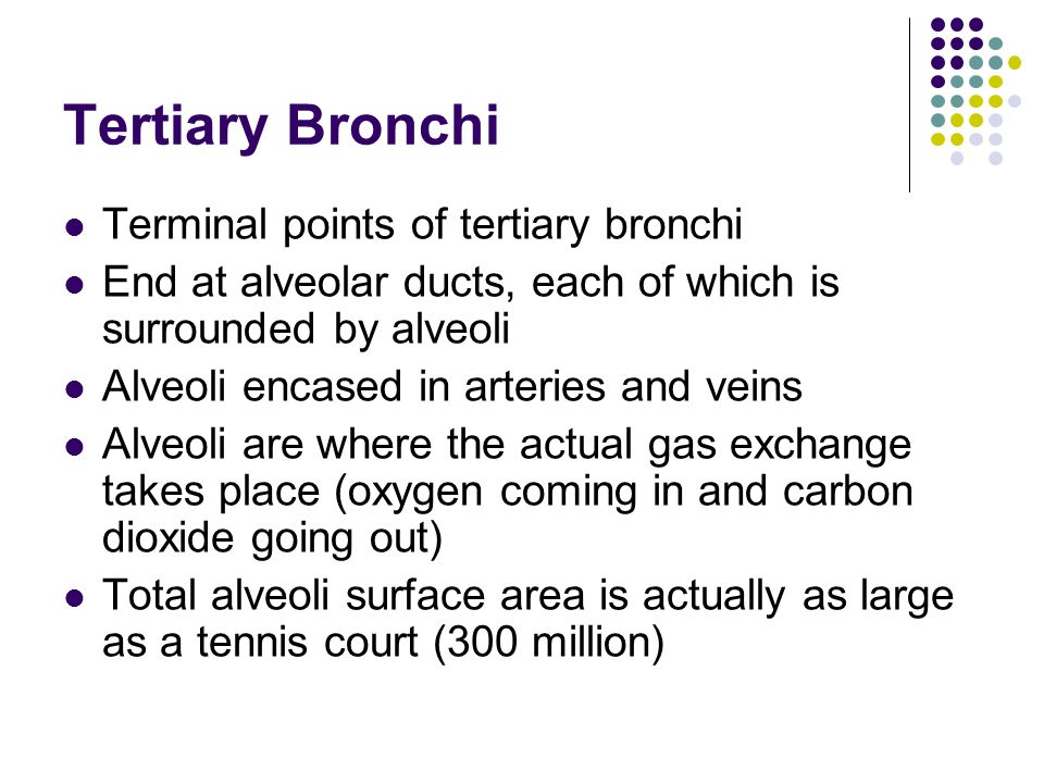 Tertiary Bronchi Terminal points of tertiary bronchi End at alveolar ducts, each of which is surrounded by alveoli Alveoli encased in arteries and veins Alveoli are where the actual gas exchange takes place (oxygen coming in and carbon dioxide going out) Total alveoli surface area is actually as large as a tennis court (300 million)