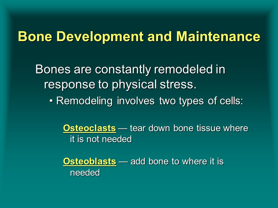 Bone Development and Maintenance Bones are constantly remodeled in response to physical stress.