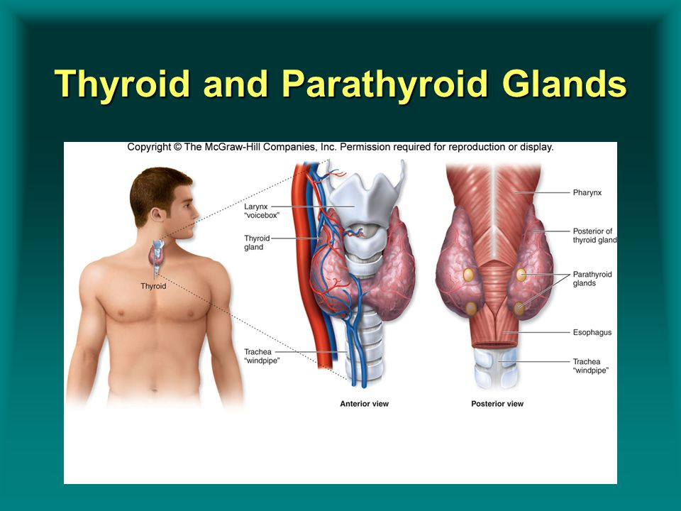 Thyroid and Parathyroid Glands Insert Figure 9.11