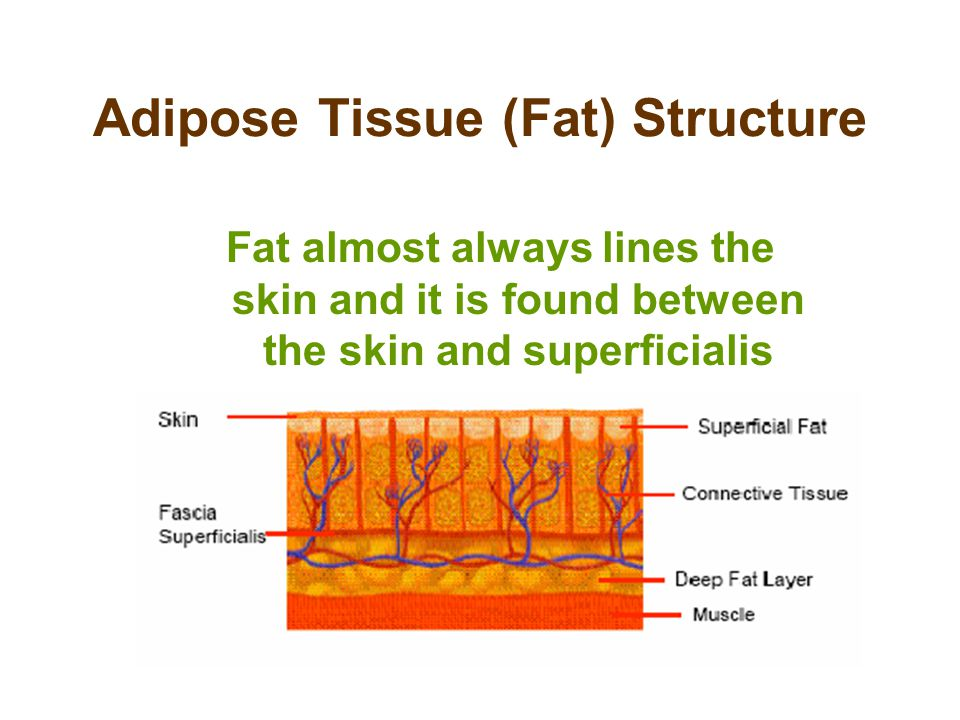 Adipose Tissue (Fat) Structure Fat almost always lines the skin and it is found between the skin and superficialis