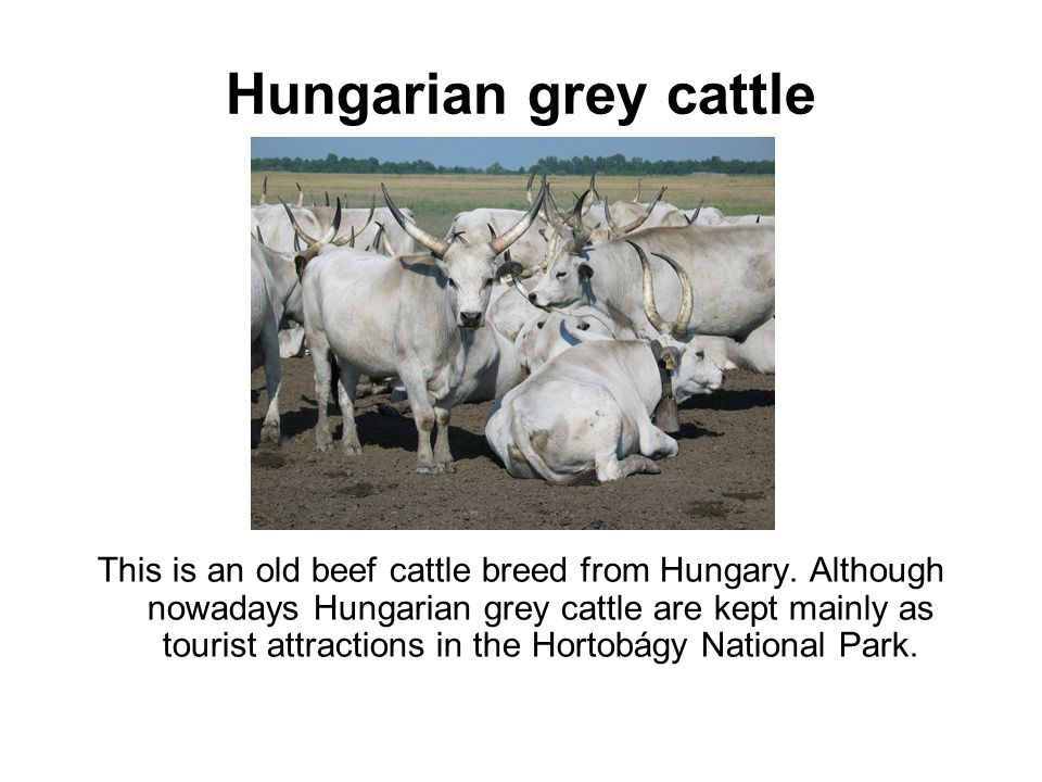 Hungarian grey cattle This is an old beef cattle breed from Hungary.