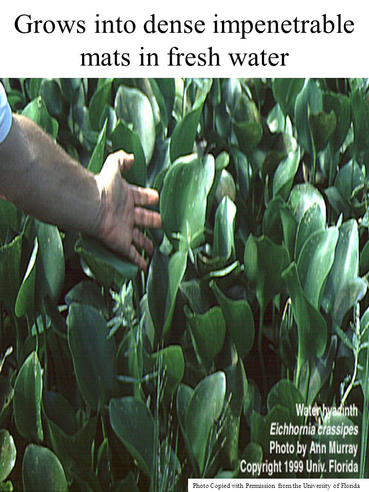 36 4.Process Of Producing Food Preservative Solution From The Water Hyacinth Plant 5.