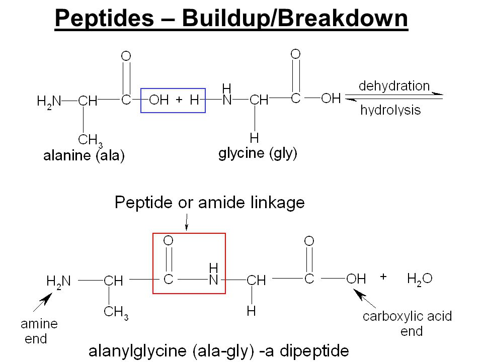 Peptides – Buildup/Breakdown