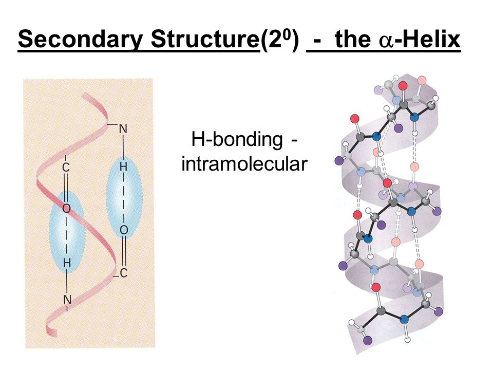 H-bonding - intramolecular Secondary Structure(2 0 ) - the  -Helix