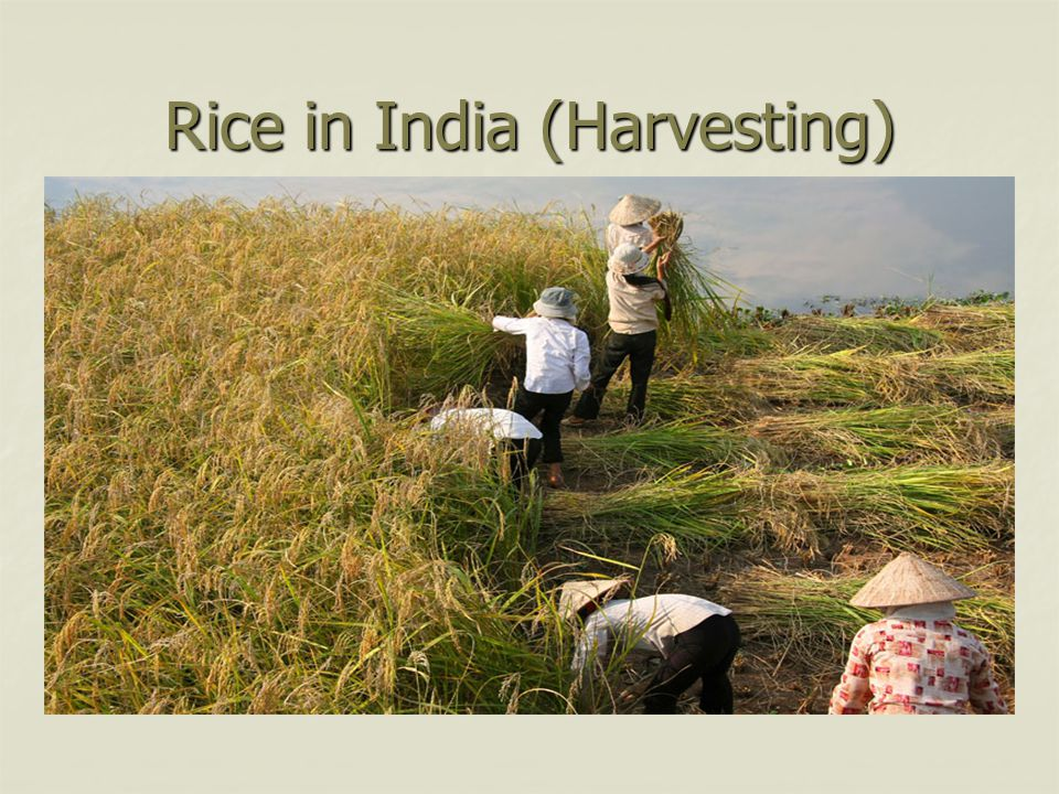 Rice in India (Harvesting)