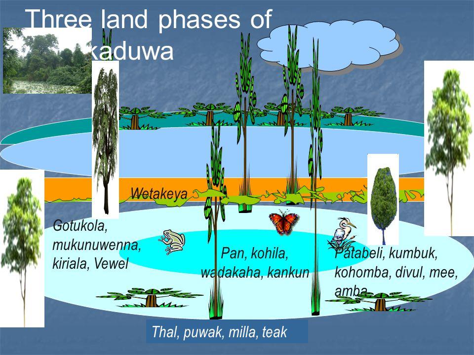 Thal, puwak, milla, teak Pan, kohila, wadakaha, kankun Gotukola, mukunuwenna, kiriala, Vewel Patabeli, kumbuk, kohomba, divul, mee, amba Three land phases of Kattakaduwa Wetakeya