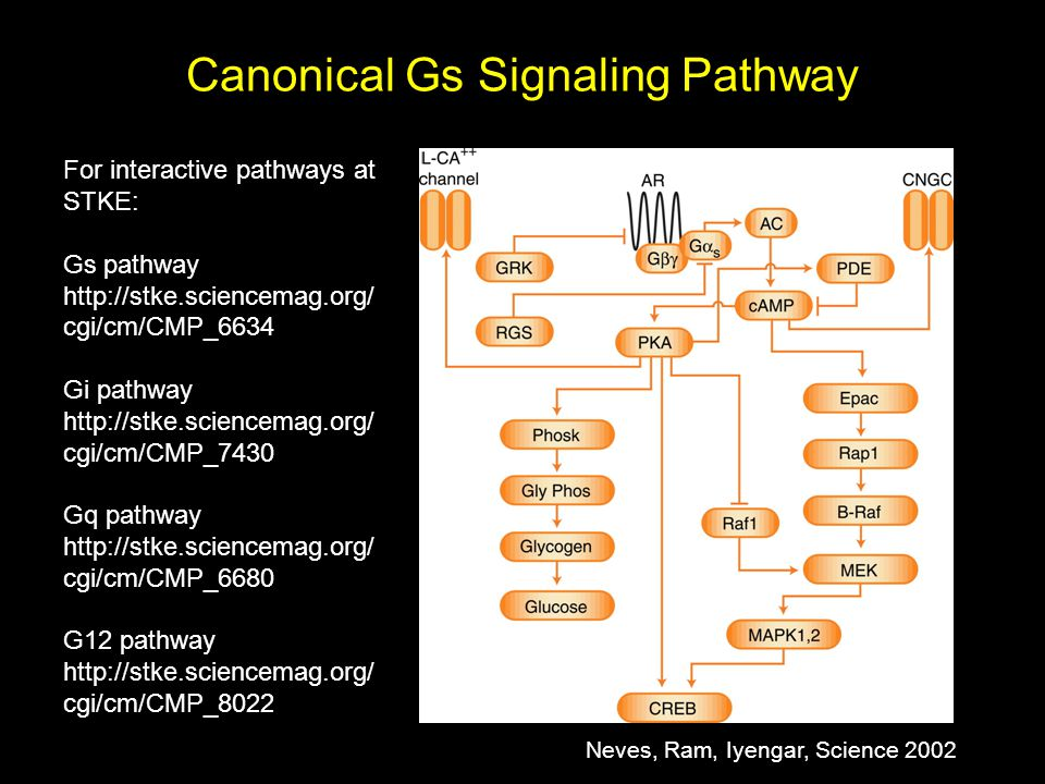 Canonical Gs Signaling Pathway For interactive pathways at STKE: Gs pathway http://stke.sciencemag.org/ cgi/cm/CMP_6634 Gi pathway http://stke.sciencemag.org/ cgi/cm/CMP_7430 Gq pathway http://stke.sciencemag.org/ cgi/cm/CMP_6680 G12 pathway http://stke.sciencemag.org/ cgi/cm/CMP_8022 Neves, Ram, Iyengar, Science 2002