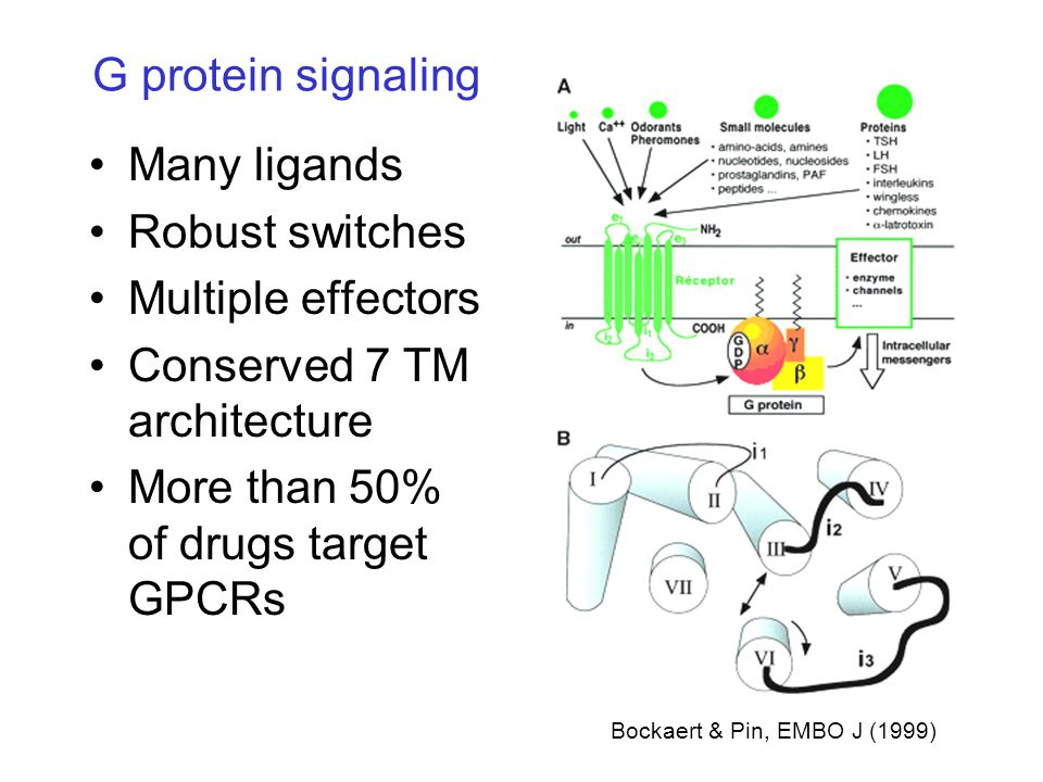 G protein signaling Many ligands Robust switches Multiple effectors Conserved 7 TM architecture More than 50% of drugs target GPCRs Bockaert & Pin, EMBO J (1999)