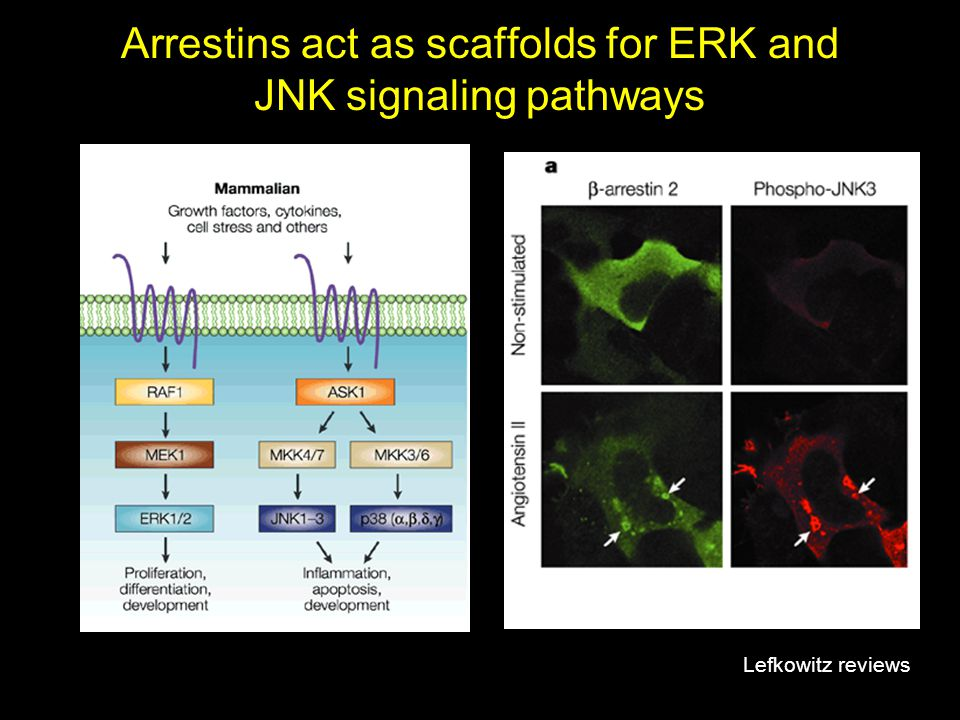Arrestins act as scaffolds for ERK and JNK signaling pathways Lefkowitz reviews