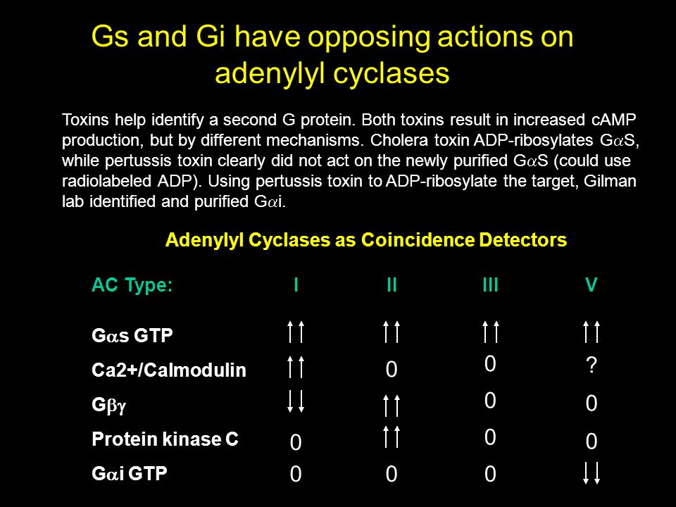 Gs and Gi have opposing actions on adenylyl cyclases Toxins help identify a second G protein.
