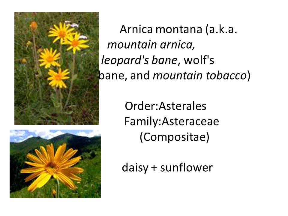 Arnica montana (a.k.a.