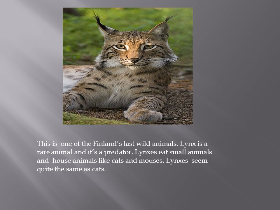 This is one of the Finland's last wild animals. Lynx is a rare animal and it's a predator. Lynxes eat small animals and house animals like cats and mo