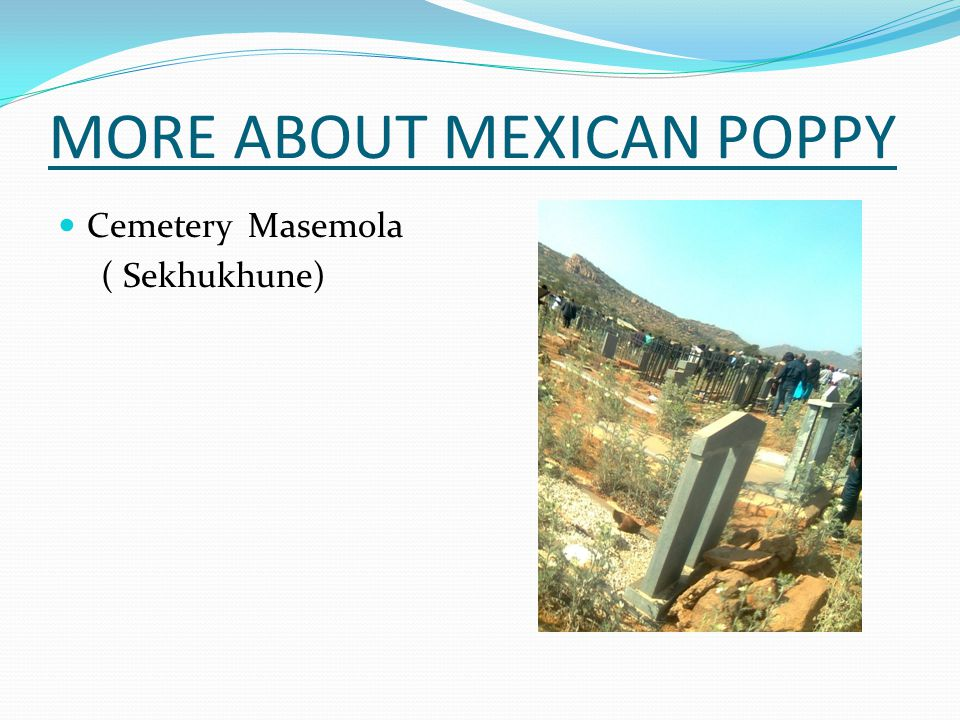 COMMUNITY AWARENESS MEXICAN POPPY CASE STUDY (MATILDA MODIBA ) Small rural farmer Maize, beans, groundnuts Control  Hoe  pulling out  IMPACT  Regrows  Spreads even more ( reduce available land for cultivation )  Compete with crops for water (low & poor harvest)  Advice  Using of chemicals  Engaging dwa