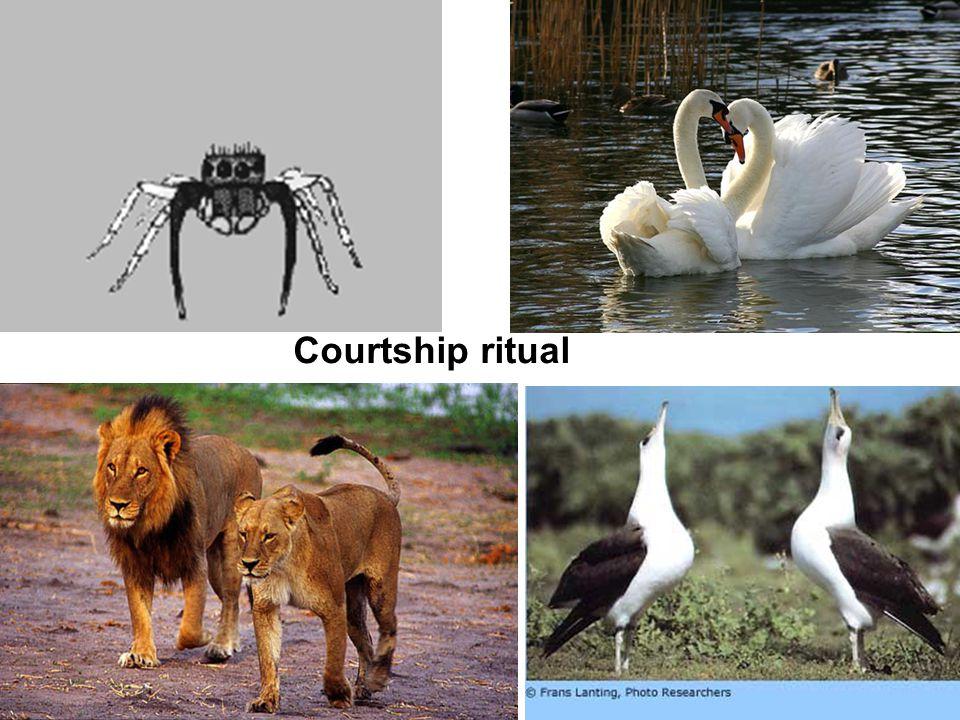 Courtship ritual