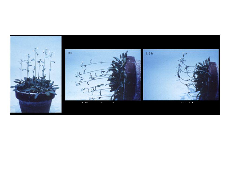 Tropism, negative response to gravity Onion (Allium cepa)