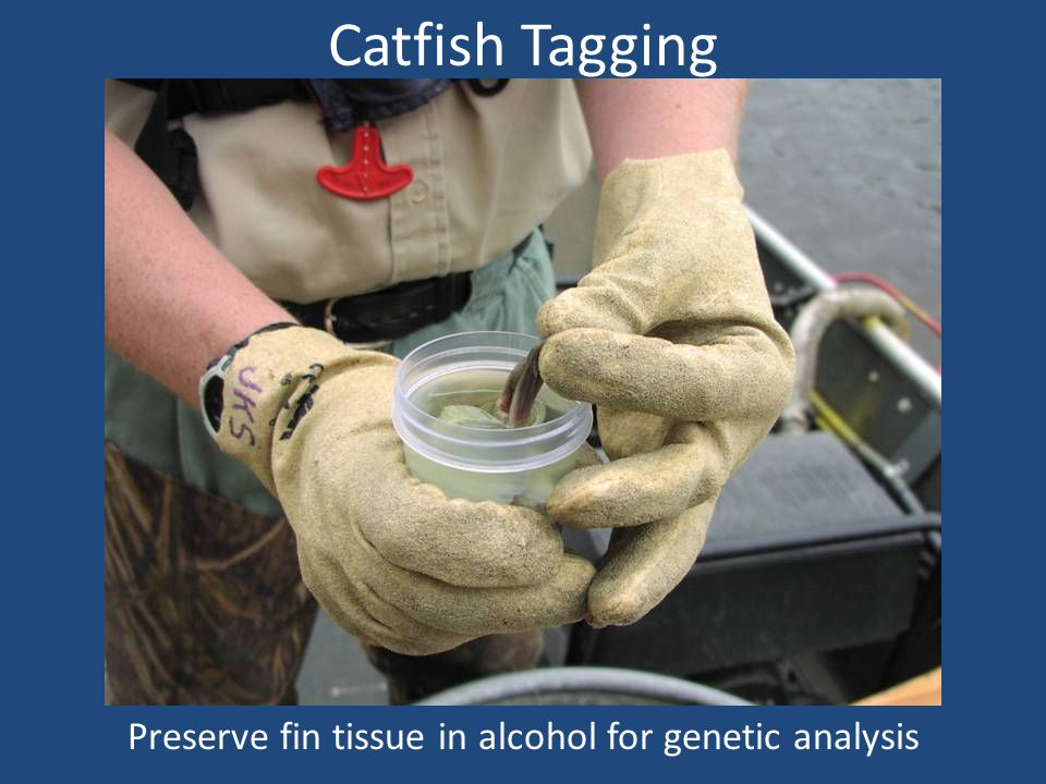 Catfish Tagging Preserve fin tissue in alcohol for genetic analysis