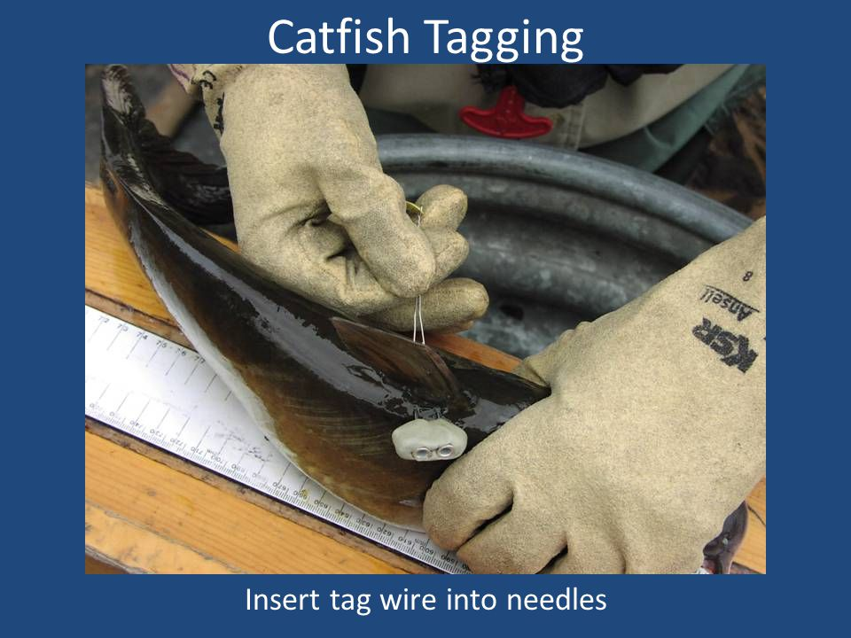Catfish Tagging Insert tag wire into needles