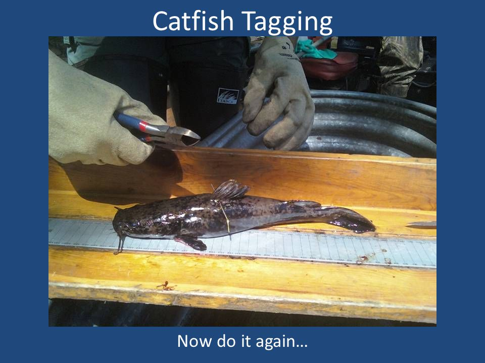 Catfish Tagging Now do it again…