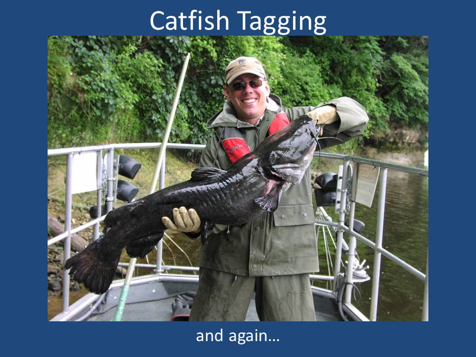 Catfish Tagging and again…