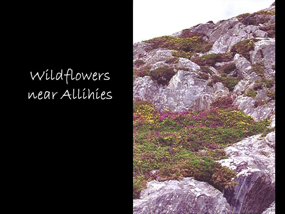 Wildflowers near Allihies