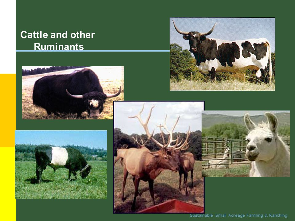 Sustainable Small Acreage Farming & Ranching Buffalo