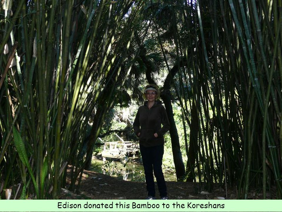 Edison donated this Bamboo to the Koreshans