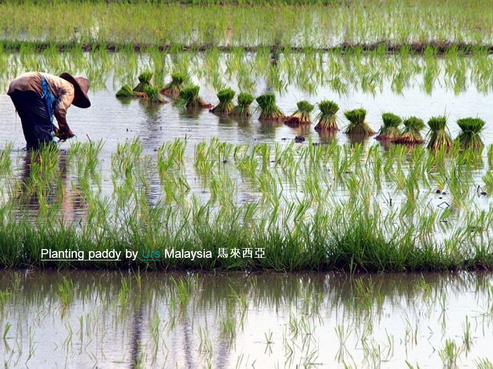 Planting paddy by Urs Malaysia 馬來西亞Urs