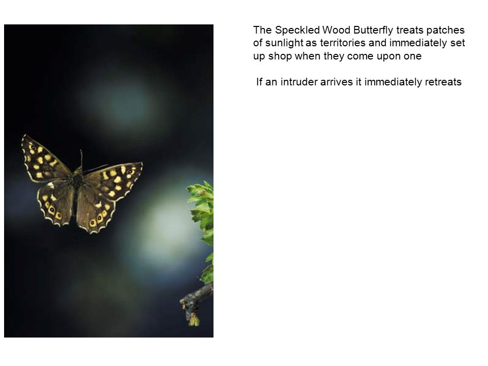 The Speckled Wood Butterfly treats patches of sunlight as territories and immediately set up shop when they come upon one If an intruder arrives it immediately retreats