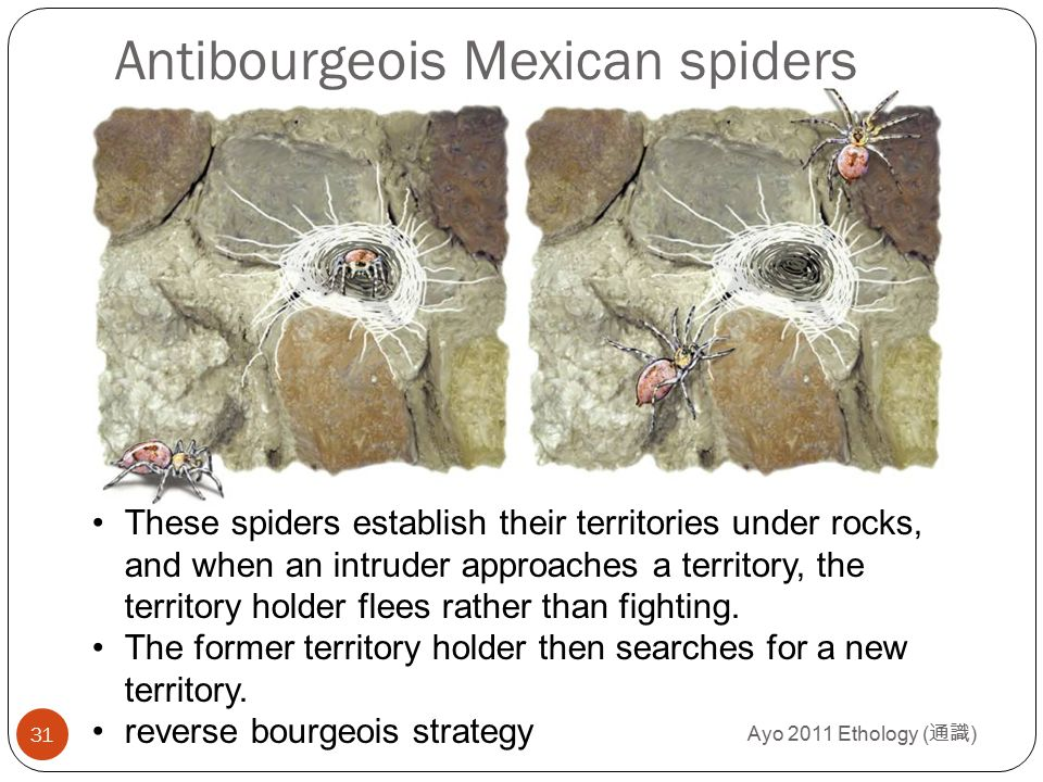 Ayo 2011 Ethology ( 通識 ) 31 Antibourgeois Mexican spiders These spiders establish their territories under rocks, and when an intruder approaches a ter