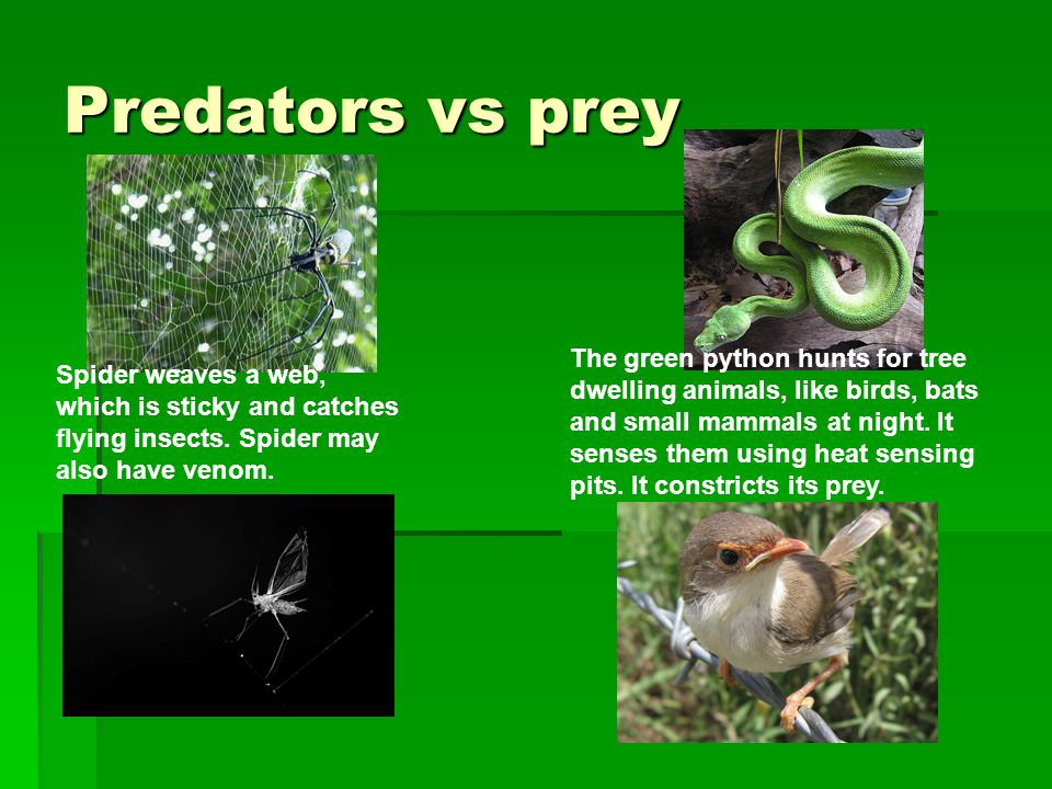 Predators vs prey Spider weaves a web, which is sticky and catches flying insects.
