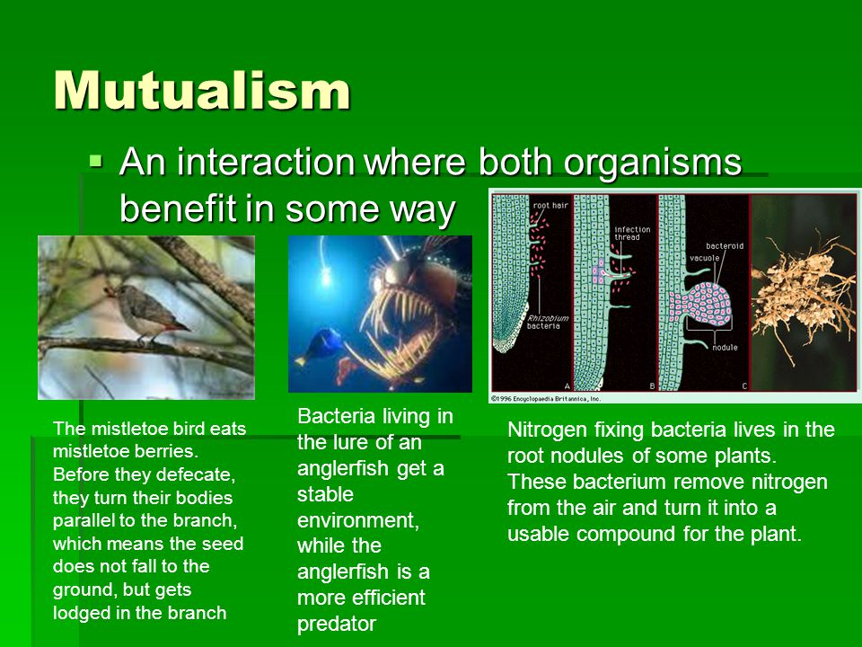 Mutualism  An interaction where both organisms benefit in some way The mistletoe bird eats mistletoe berries. Before they defecate, they turn their b