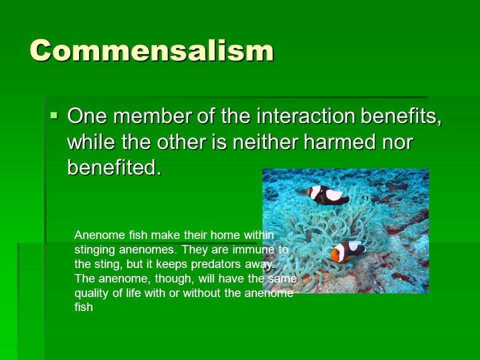 Commensalism  One member of the interaction benefits, while the other is neither harmed nor benefited. Anenome fish make their home within stinging a