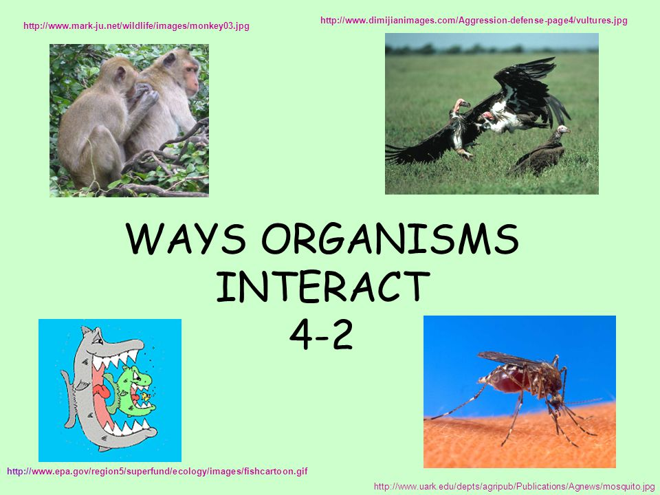 WAYS ORGANISMS INTERACT 4-2 http://www.epa.gov/region5/superfund/ecology/images/fishcartoon.gif http://www.uark.edu/depts/agripub/Publications/Agnews/mosquito.jpg http://www.mark-ju.net/wildlife/images/monkey03.jpg http://www.dimijianimages.com/Aggression-defense-page4/vultures.jpg