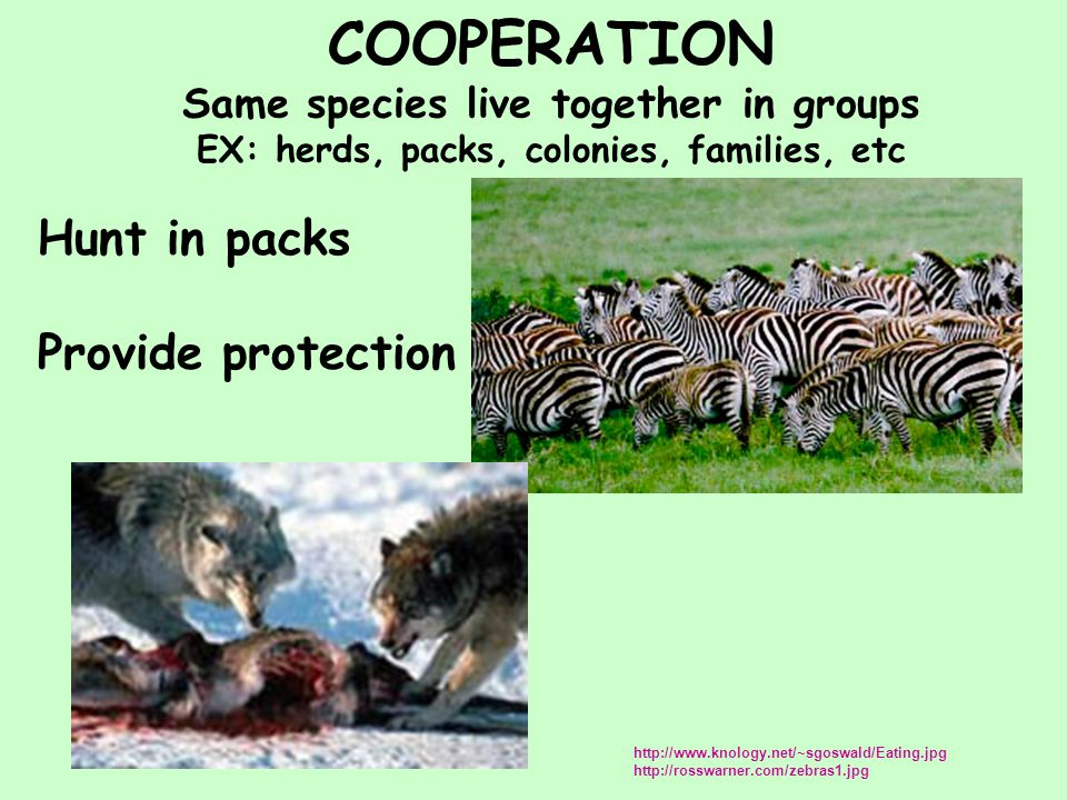 COOPERATION Same species live together in groups EX: herds, packs, colonies, families, etc Hunt in packs Provide protection http://www.knology.net/~sgoswald/Eating.jpg http://rosswarner.com/zebras1.jpg