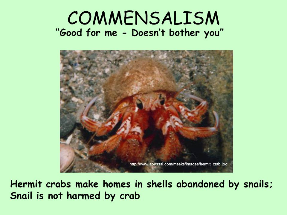 COMMENSALISM Good for me - Doesn't bother you http://www.abyssal.com/meeks/images/hermit_crab.jpg Hermit crabs make homes in shells abandoned by snails; Snail is not harmed by crab