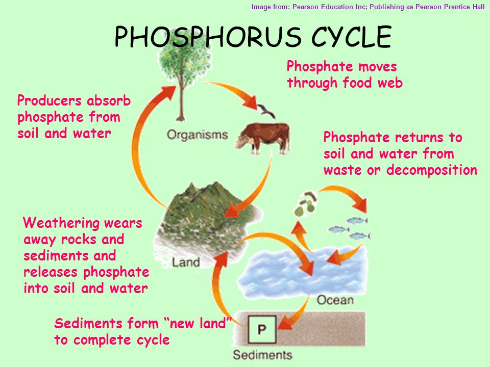 PHOSPHORUS CYCLE Weathering wears away rocks and sediments and releases phosphate into soil and water Image from: Pearson Education Inc; Publishing as Pearson Prentice Hall Producers absorb phosphate from soil and water Phosphate moves through food web Phosphate returns to soil and water from waste or decomposition Sediments form new land to complete cycle