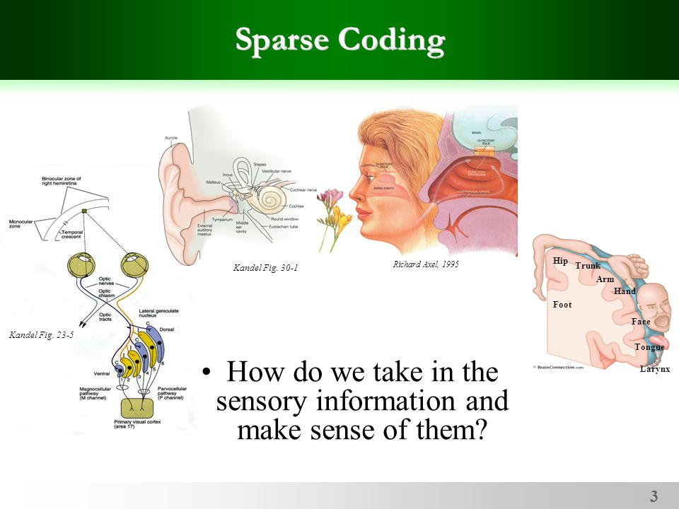 3 Kandel Fig. 23-5 Sparse Coding How do we take in the sensory information and make sense of them.