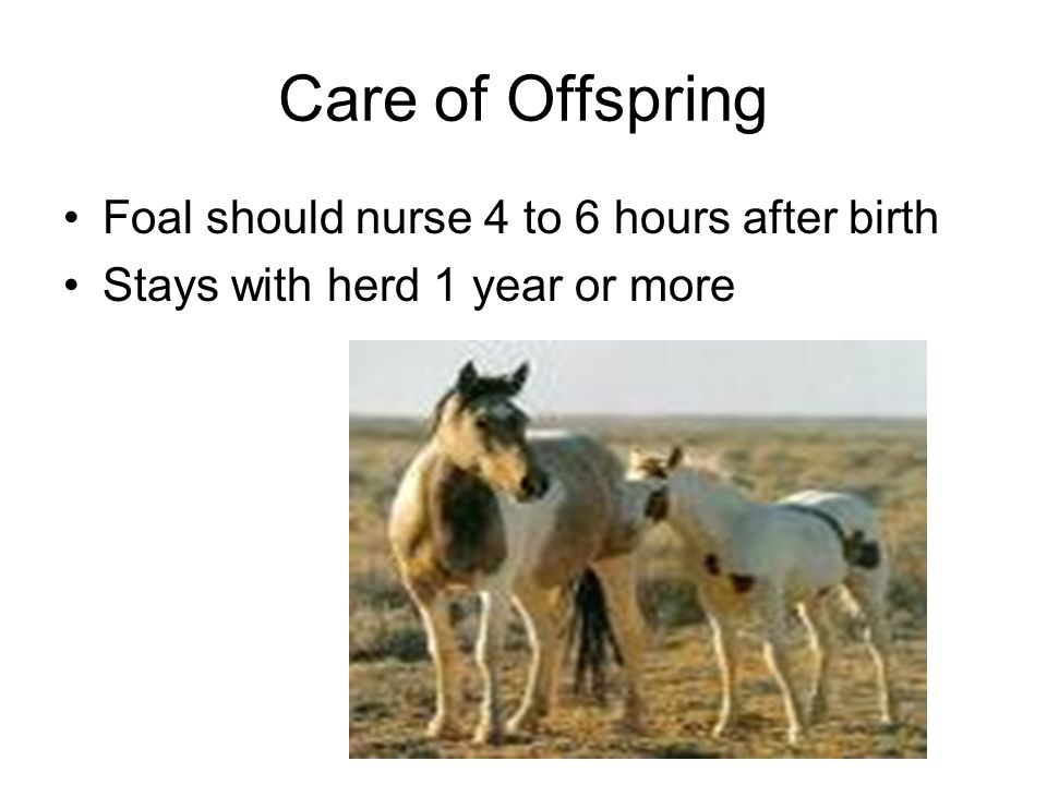 Care of Offspring Foal should nurse 4 to 6 hours after birth Stays with herd 1 year or more