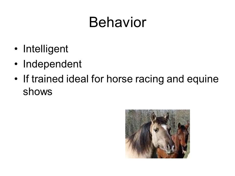 Behavior Intelligent Independent If trained ideal for horse racing and equine shows