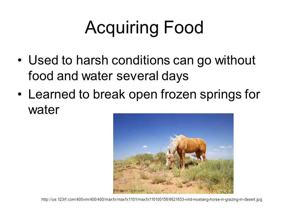 Acquiring Food Used to harsh conditions can go without food and water several days Learned to break open frozen springs for water http://us.123rf.com/400wm/400/400/maxfx/maxfx1101/maxfx110100158/8621653-wild-mustang-horse-in-grazing-in-desert.jpg