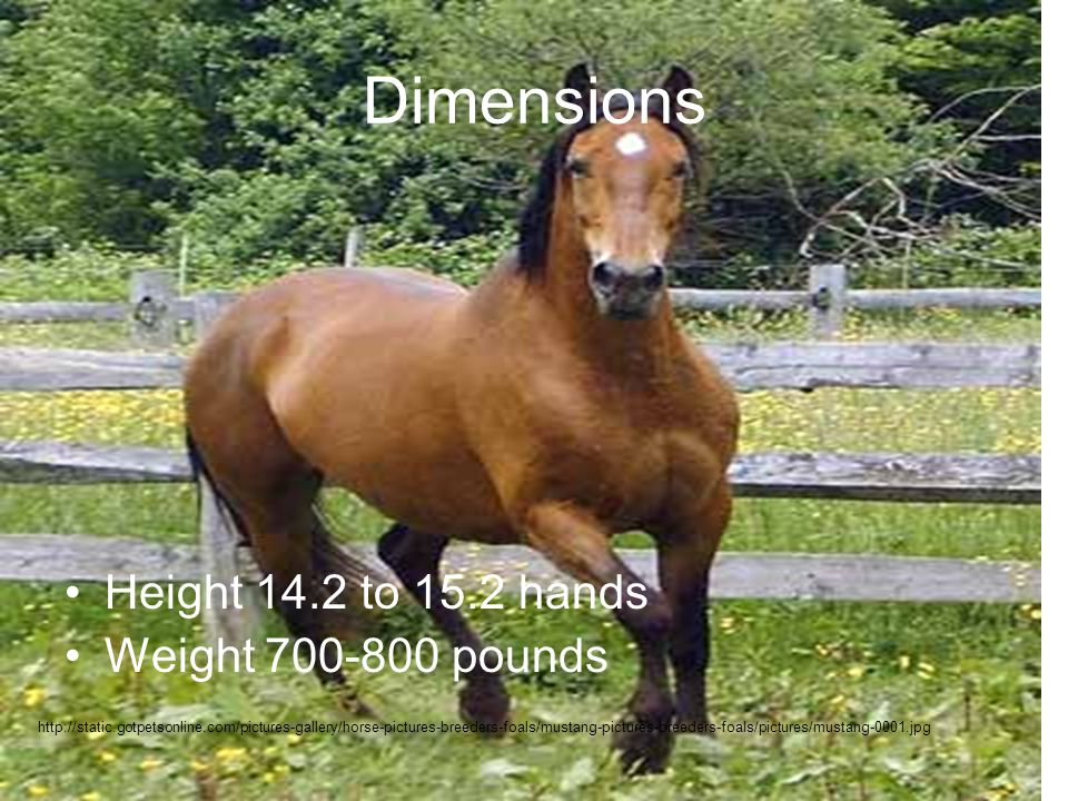 Dimensions Height 14.2 to 15.2 hands Weight 700-800 pounds http://static.gotpetsonline.com/pictures-gallery/horse-pictures-breeders-foals/mustang-pictures-breeders-foals/pictures/mustang-0001.jpg