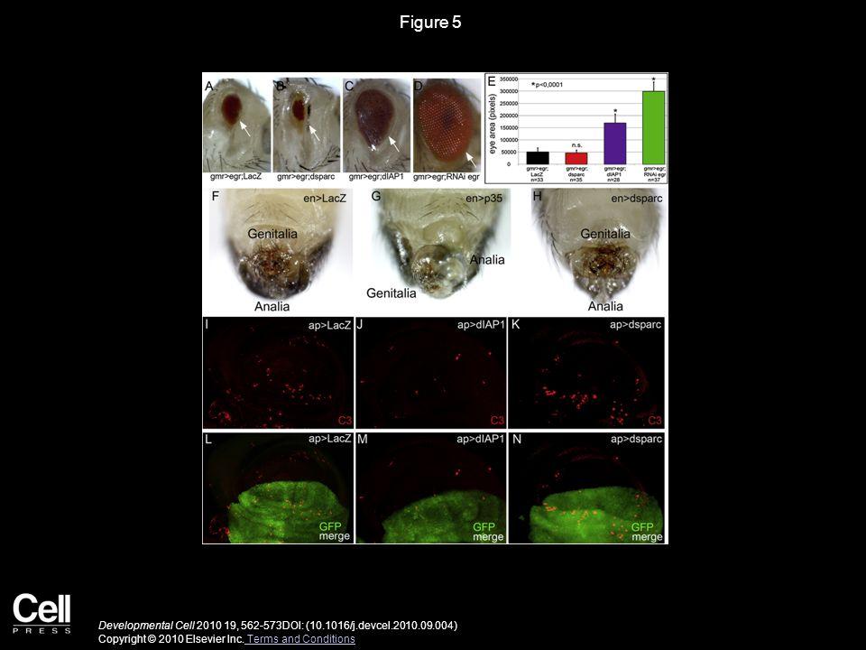 Figure 6 Developmental Cell 2010 19, 562-573DOI: (10.1016/j.devcel.2010.09.004) Copyright © 2010 Elsevier Inc.