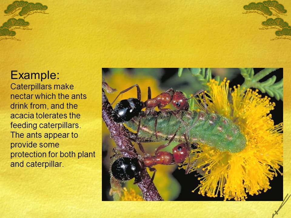 Example: Caterpillars make nectar which the ants drink from, and the acacia tolerates the feeding caterpillars. The ants appear to provide some protec